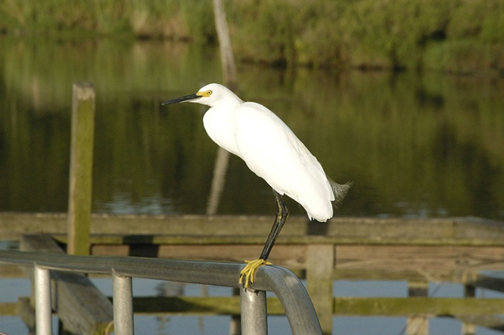 Egret on a Rail