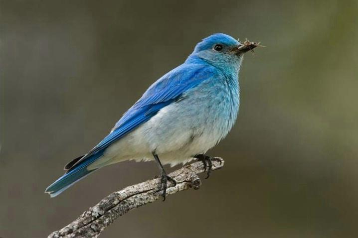 Mountain Bluebird on a Branch