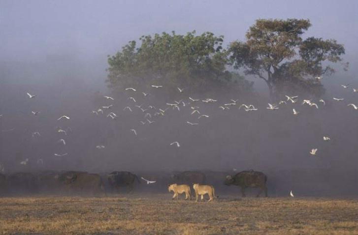 Early Morning Hunt at Duba Plains