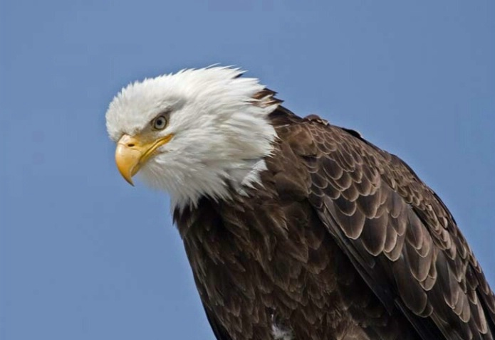 Eagle Scowling