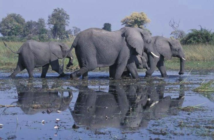 Elephant Herd Reflection