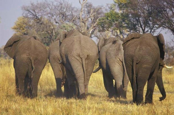 A Herd of Bull Elephants
