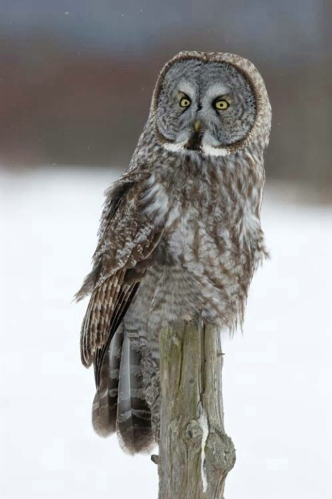Great Gray Owl Perched on a Post
