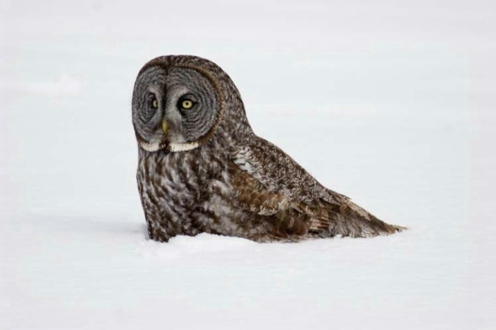 Great Gray Owl on the Snow