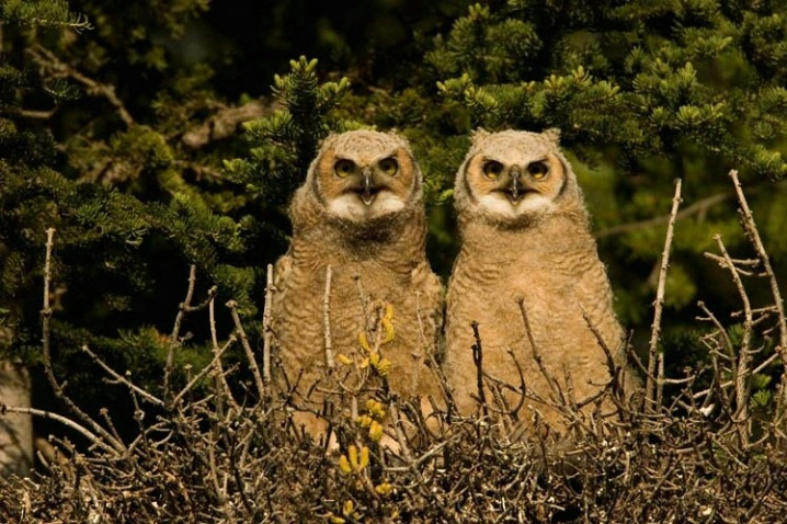 Great Horned Owlets Calling