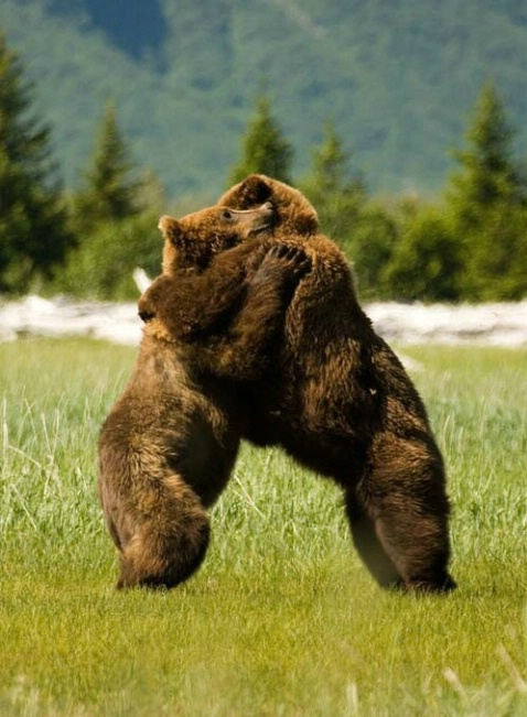 Grizzly Bear Dance