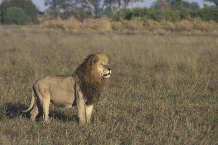 Magestic Lion of Duba Plains
