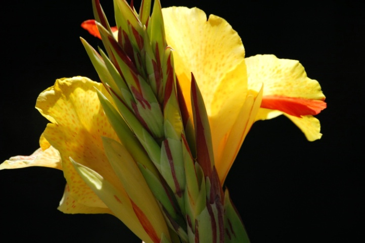 Canna in Yellow