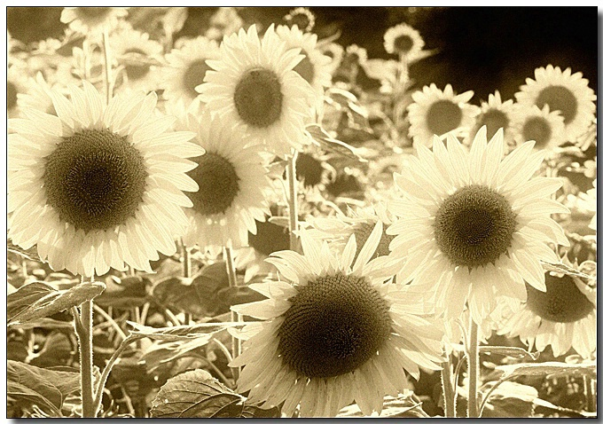Old Sunflowers