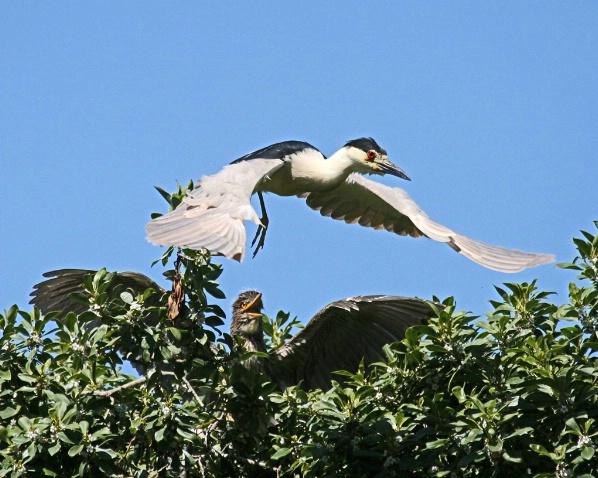 Hungry Baby Squawks as Night Heron Flies