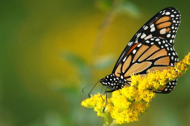 Monarch Migrating