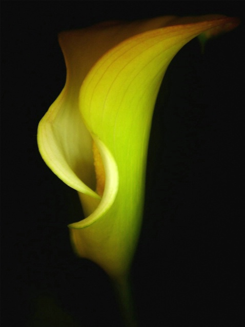 Yellow Calla Lilly