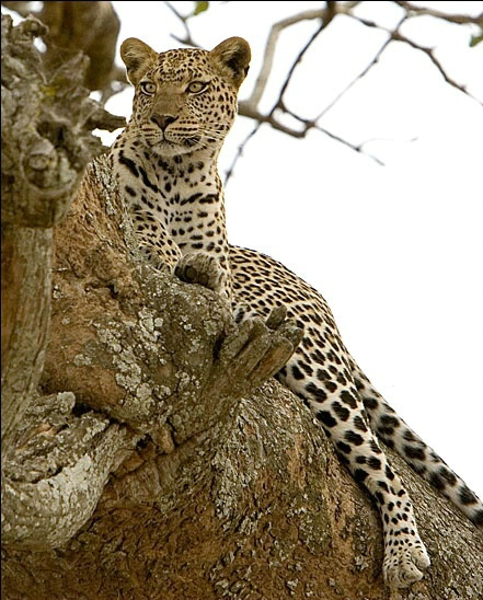 Leopard in the Serengeti