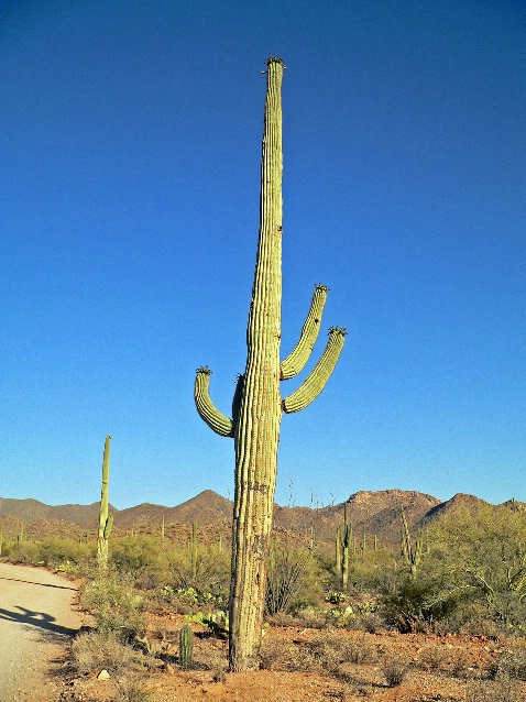 Saguaro cactus in Saguaro National Park, AZ