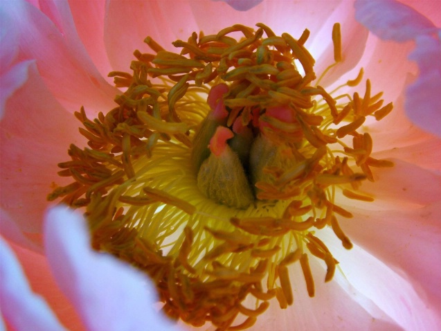 Heart and Soul of a Peony