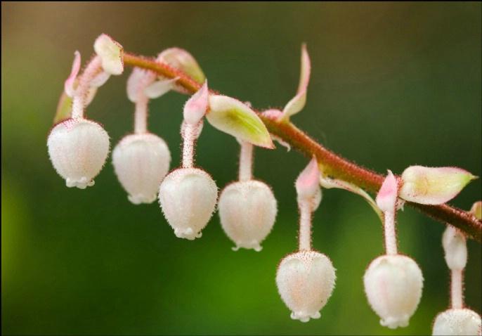 Salal Blossoms