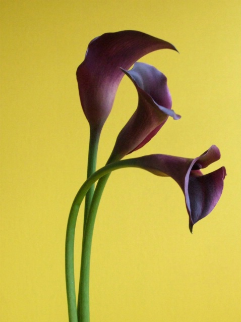 Purple Calla's