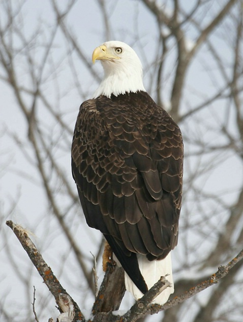 Magestic Bald Eagle Perched on Tree Top