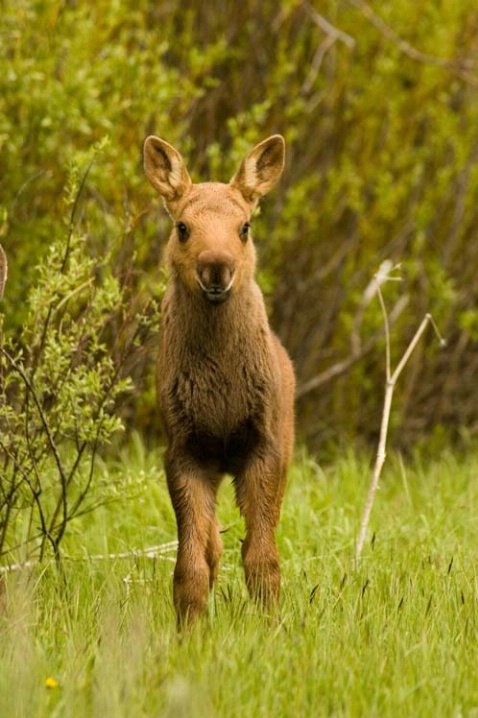 Moose Calf in Field