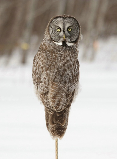 Great Gray Owl on a Post