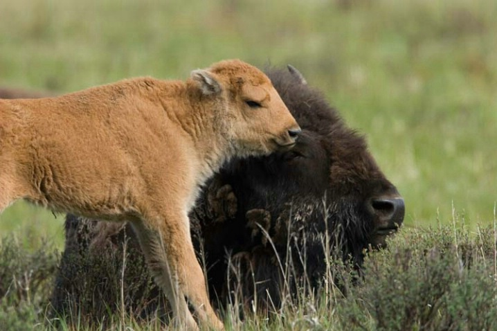 Bison in the Spring