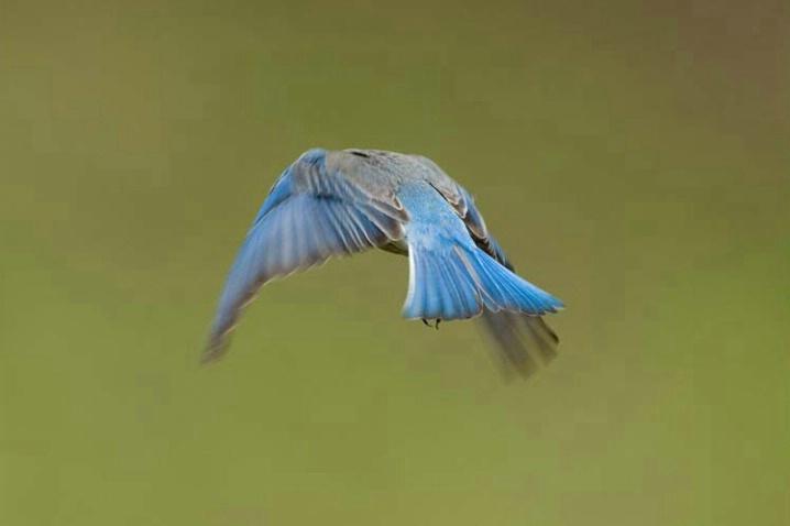 Mountain Bluebird in Flight