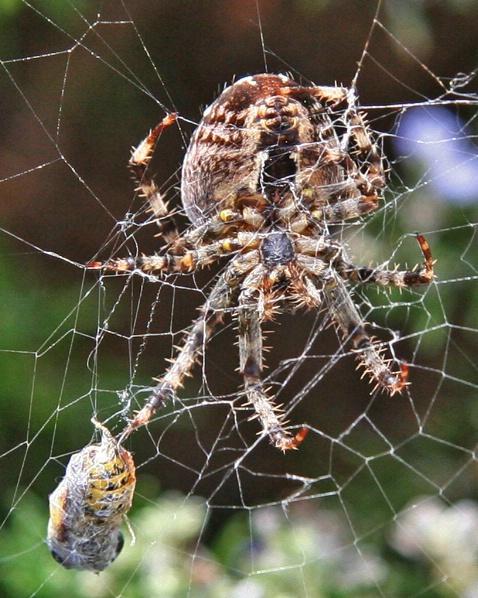 Cross Orb Weaver with Captured Honey Bee