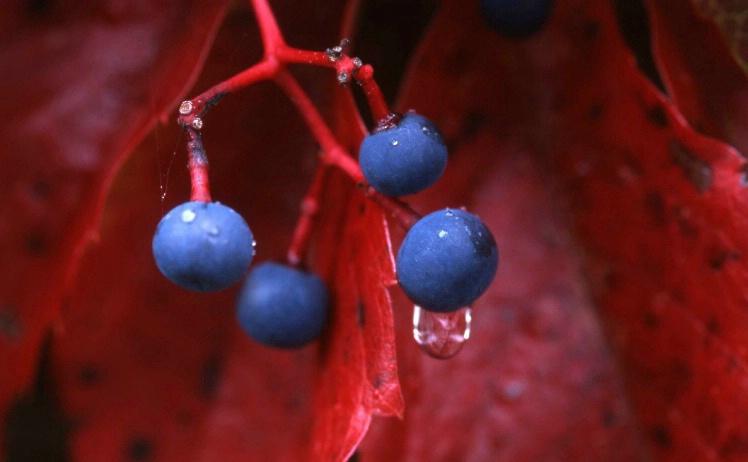 Grapes - Grafton - Vermont