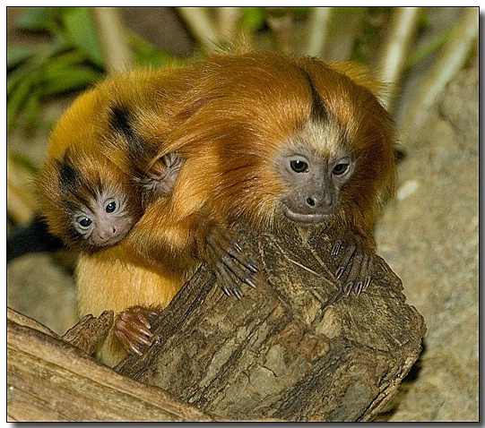 Golden Lion Tamarin and Two Babies
