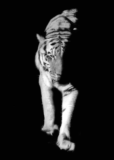 Tiger, tiger,,,