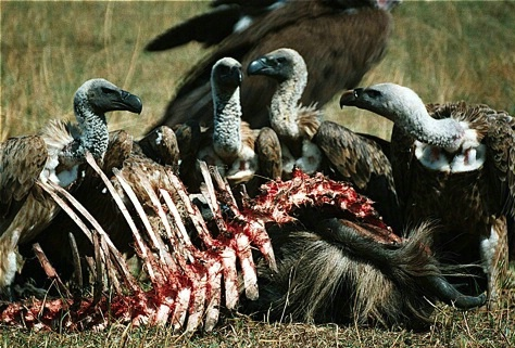 Ngorongoro Vultures  Feasing