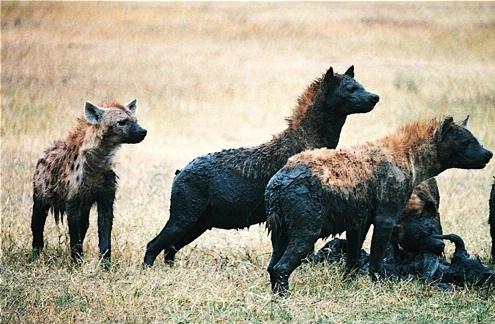 Hyenas on the lookout
