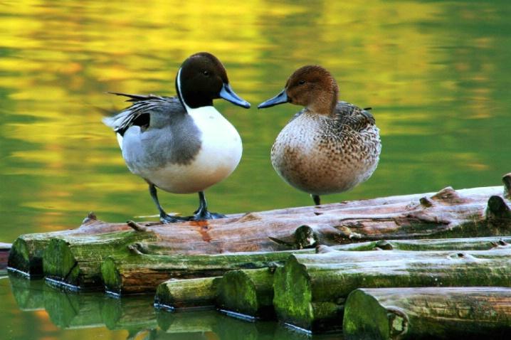Hopeland's Gardens Ducks