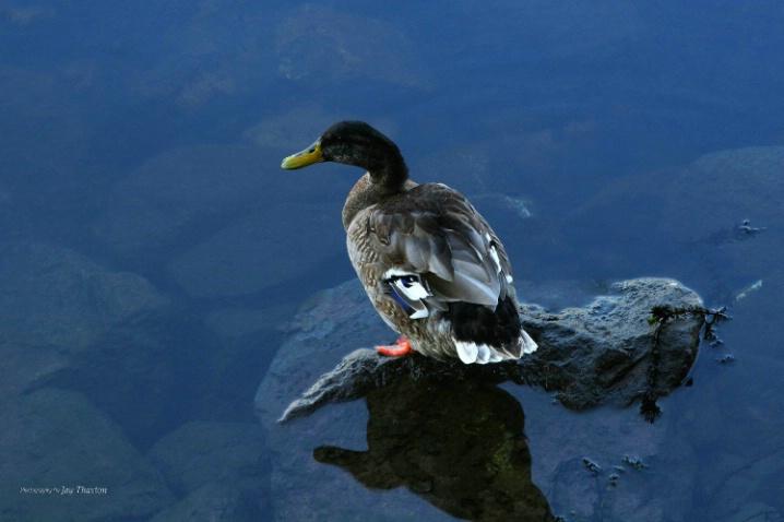Augusta Riverwatch Duck