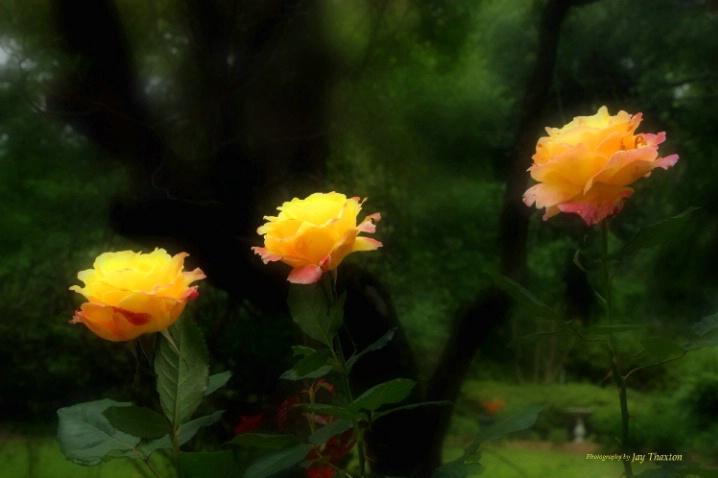 Kings Way Roses