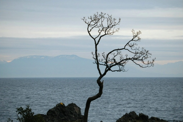 Gary Oak Tree