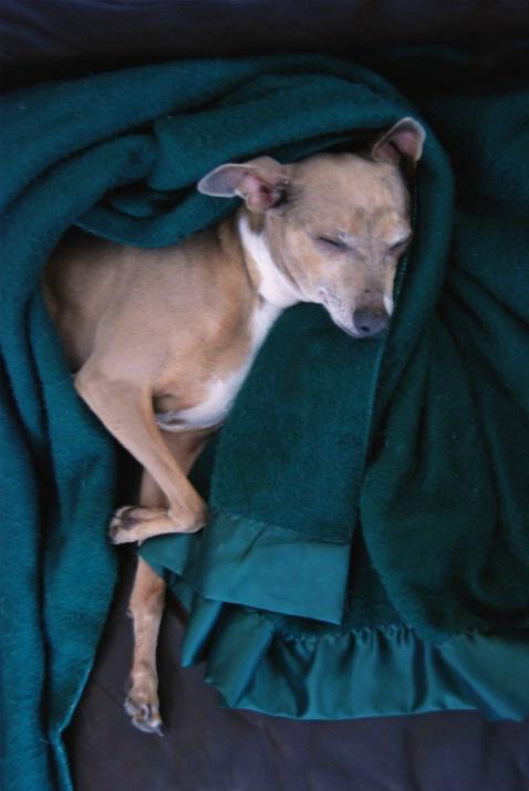 Italian Greyhound Fast Asleep