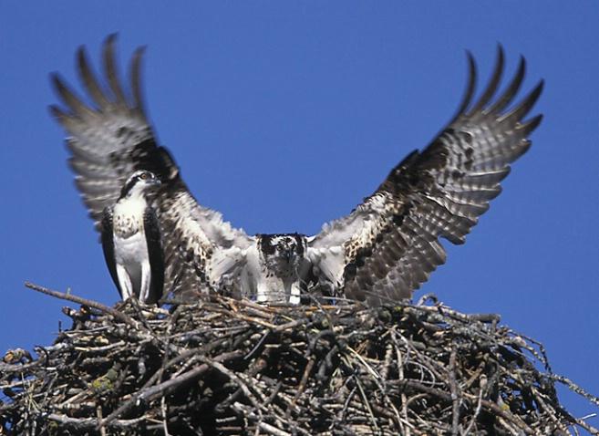 Osprey Landing at the Nest