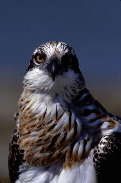 Osprey Portrait