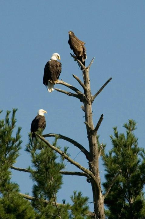 Trio of Eagles
