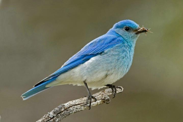 Mountain Bluebird on a Branch Close-Up