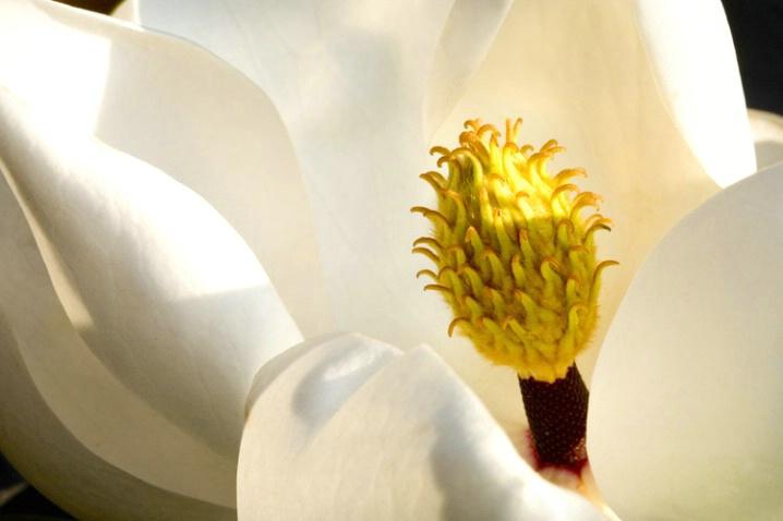 Magnolia blossomat first light