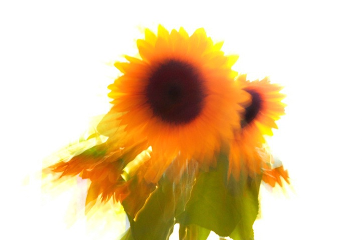 Sunflowers immersed in the rays of light...2