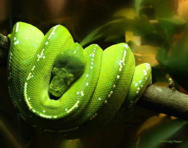 Green Python @ zoo in Columbia, SC