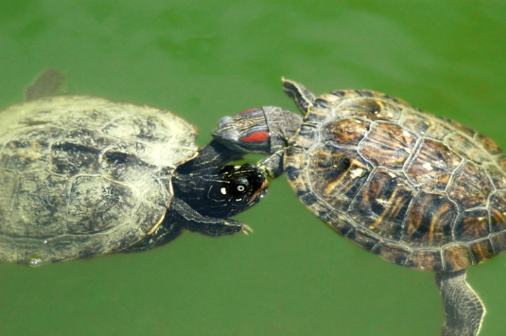 Turtle pair dance...
