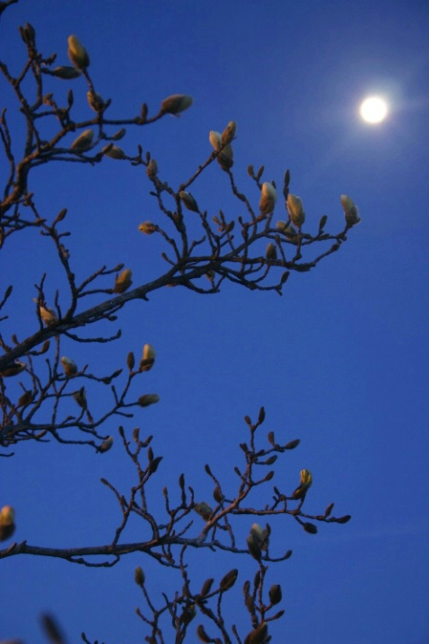 Buds and Moon
