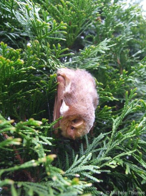 Bat on evergreen tree, backyard
