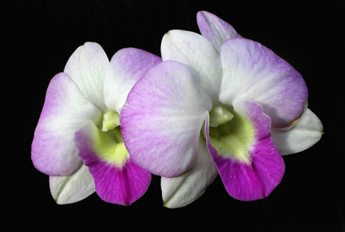 The Orchid Twins