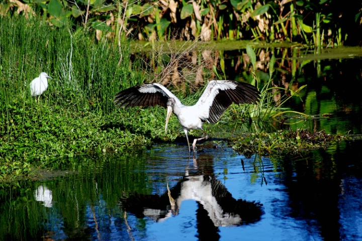 Wood Stork and admirer