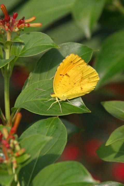 Dina Yellow